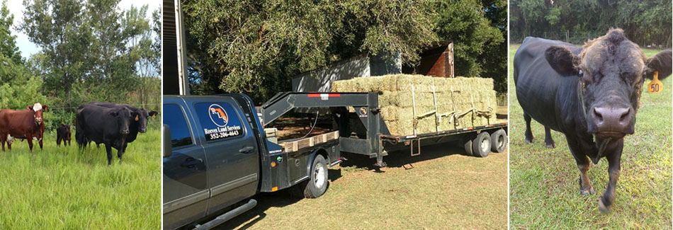 Square hay bales to be fed to Florida cattle.