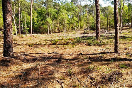 Florida woods cleared with forestry mulching.